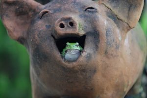 Laughter Pig Tree Frogs